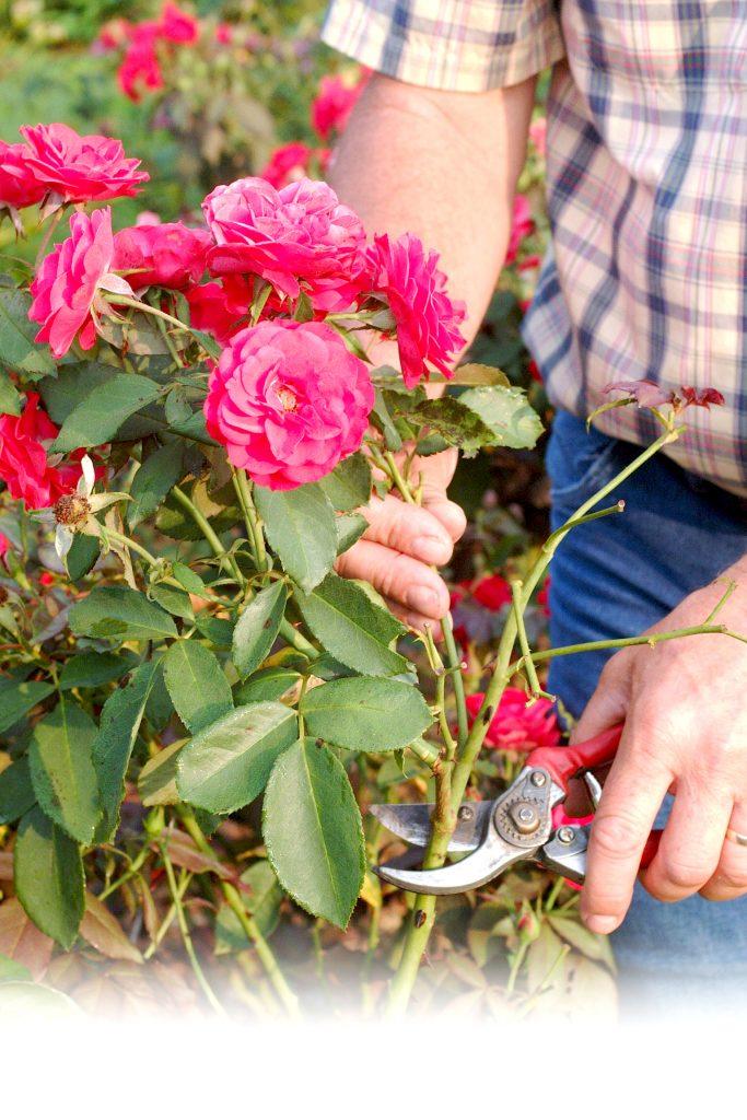 Maintaining a beautiful rose garden is pruning (bosslerpress.com)