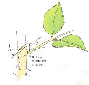 Pruning Rose Bushes (Landscape Design Advice)