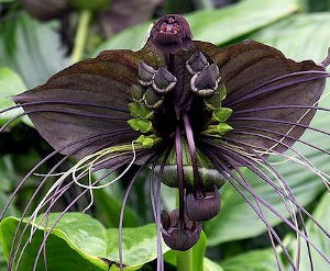 Tacca-chantrieriyes-Black Bat Flower (Rare Plants)