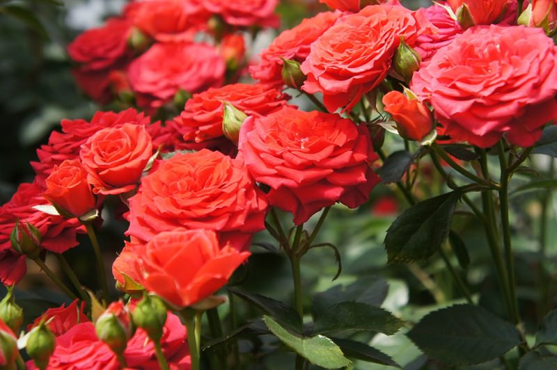 Tips For Planting a Rose Garden (Balcopy Garden Web)