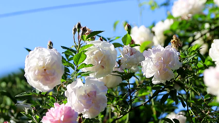 White Rose Blossom-Tips For Planting a Rose Garden (Shutterstock.com)