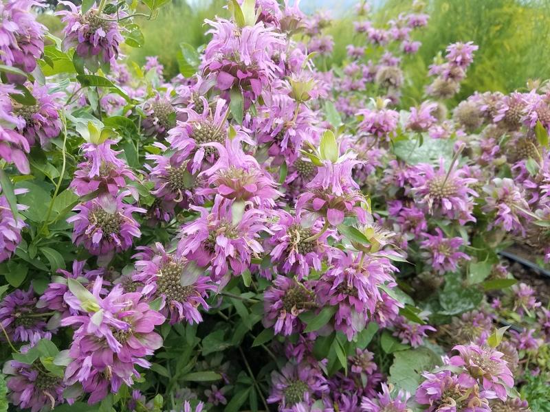 Bee Balm (Monarda hybrid 'Lambada') Fragrant Leaves (wildgardenseed.com)