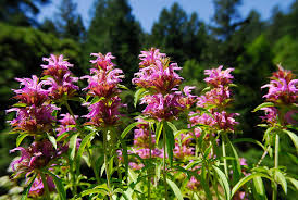 Bee Balm (Monarda hybrid 'Lambada') -