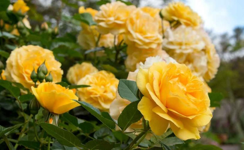 Color - Garden Rose Flower (Huntington Library)