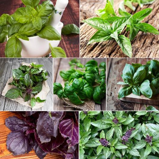 Favorite Varieties Basil -Plants with Fragrant Leaves (Eden Brothers)