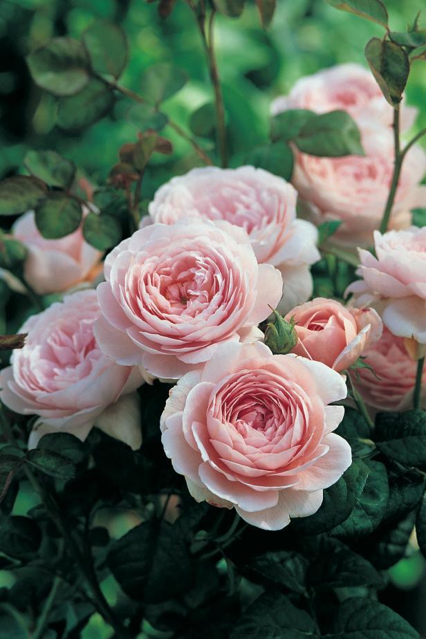 Fragrance - Garden Rose Flower (HGTV.com)