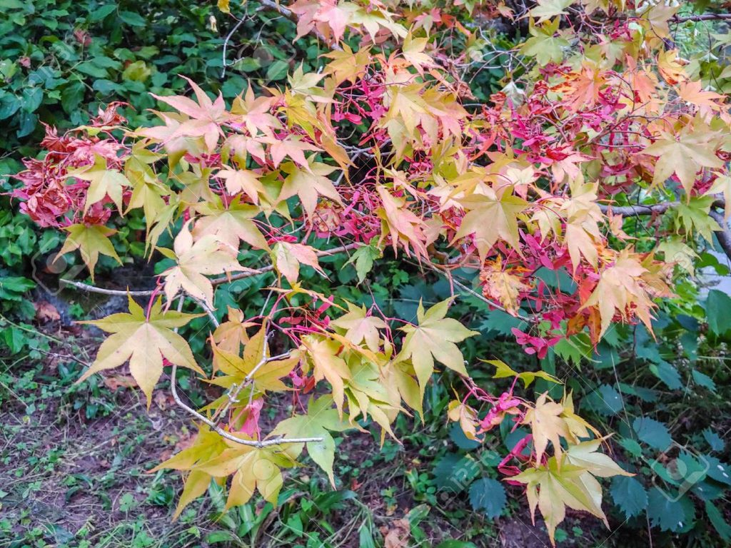 Maple-Acer-species-(123RF.com)
