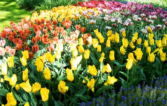 Planting Tulip Bulbs In Autumn (Tulip flower)