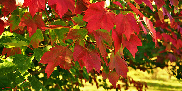 Red Maple (Acer species) (National Wildlife Federation)