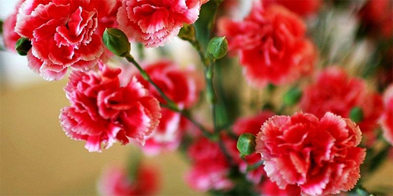 Roman and Greek times carnations (FlowerAura)