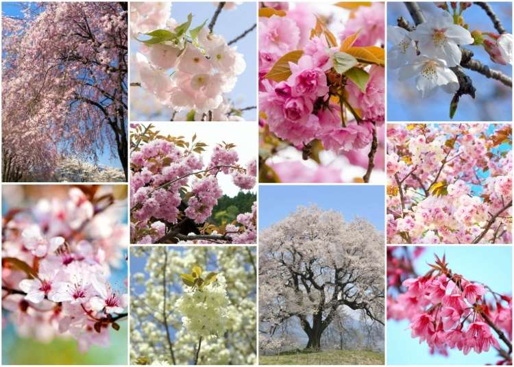 Sakura blossom-Japanese Cherry Tree (Live Japan)