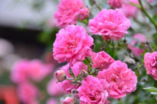 The Garden Rose Flower Remains A Popular Choice (TripAdvisor)