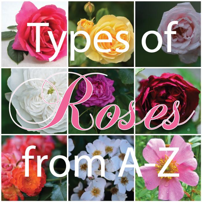 Type - Garden Rose Flower (pinterest.ca)