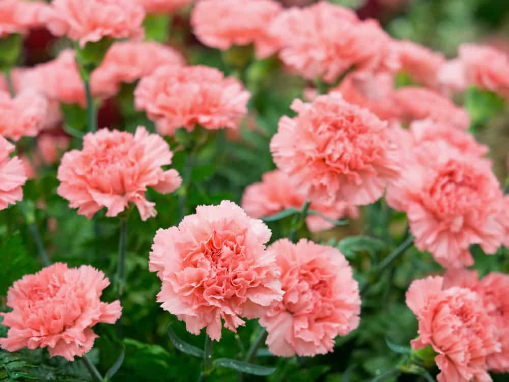 Types of Carnations (Home Stratosphare)