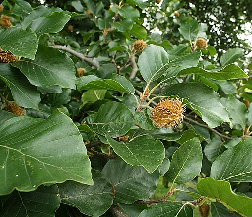 Green Beech (Fagus sylvatica) (Tree Seed Online Ltd)