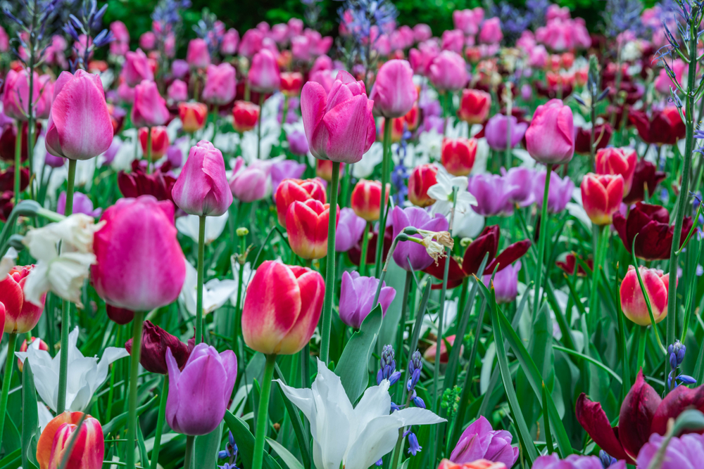Tulip Care Flowers (The English Garden)