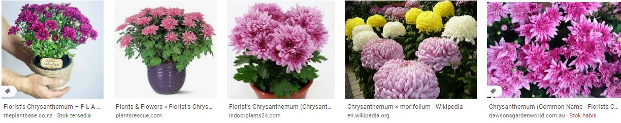 Florist's Chrysanthemum indoor