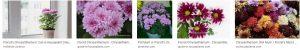 Florist's Chrysanthemum morifolium