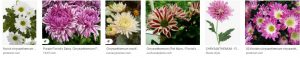 Florist's Chrysanthemumhome depot